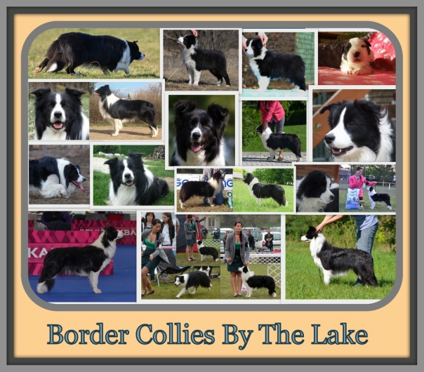 Border Collies By The Lake